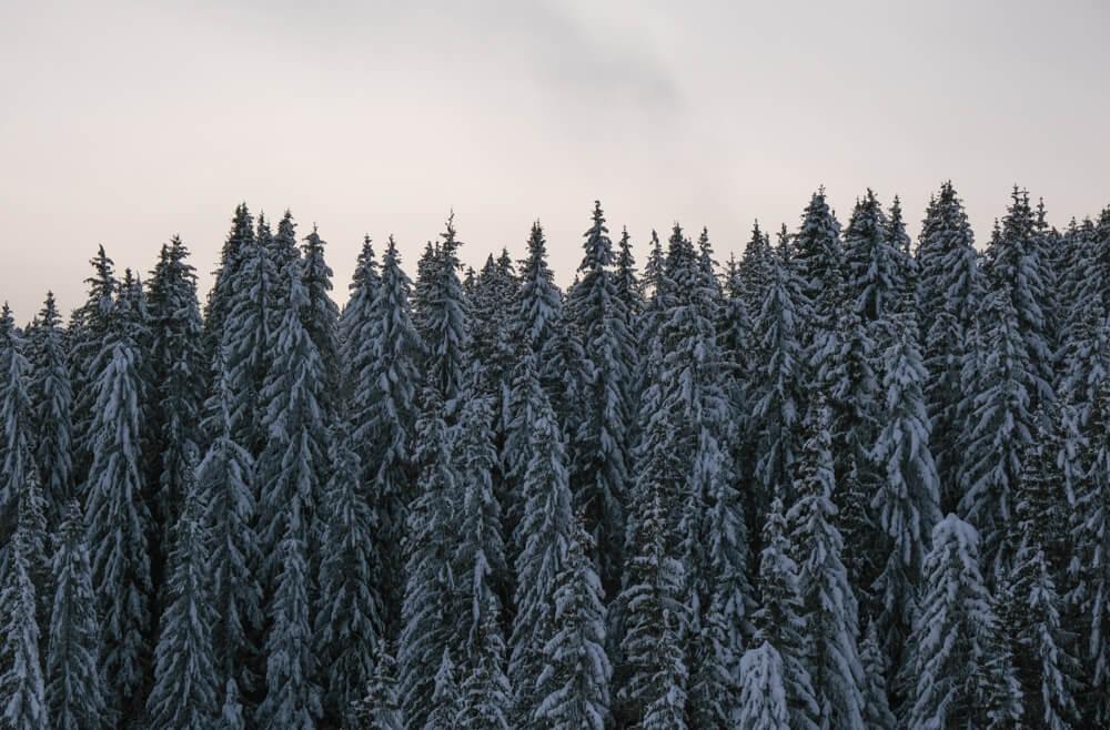 Forêt de sapin - Raquettes sur le plateau des Glières