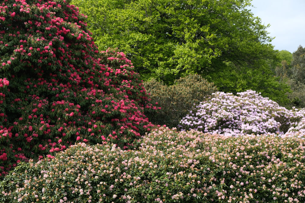 Rhododendrons dans les jardins du Castle Kennedy Ayrshire